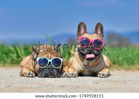 Adorable cute happy French Bulldog dogs wearing sunglasses in summer in front of meadow and blue sky on hot day Photo stock ©