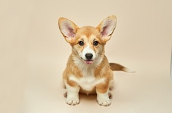 Adorable cute puppy Welsh Corgi Pembroke shows tongue and sitting on light background