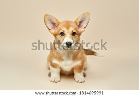 Adorable cute puppy Welsh Corgi Pembroke sitting on light background