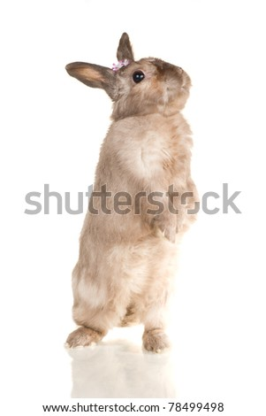 Adorable cute rabbit stay on back paws on white background