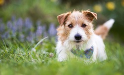 Adorable cute smiling small jack russell terrier pet dog puppy looking and listening ear in the grass. Web banner with copy space.