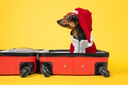 Adorable dachshund dog in Santa costume and hat, sunglasses is sitting in open suitcase, preparing to go on vacation for the Christmas holidays, yellow background. Vacation and travel concept with pet