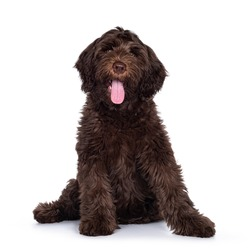 Adorable dark brown Cobberdog aka Labradoodle pup, sitting up facing front with tongue out. Looking towards camera. Isolated on white background.