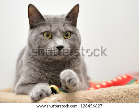 Adorable dark gray cat looking out from a carpeted perch - eye wide and one paw slightly raised - playful