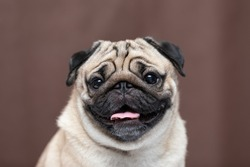 Adorable Dog cute pug breed happiness and smile on brown color background,purebred dog pug breed Concept