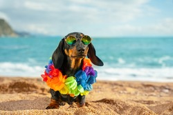 adorable dog dachshund, black and tan, sit sand at the beach sea on summer vacation holidays, wearing sunglasses and flower hawaiian . chain.