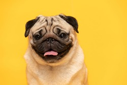 adorable dog pug breed making happy face and serious face on yellow background,Happy dog smile ready to summer,Pug Purebred Dog Concept