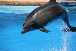 Adorable dolphin jumping from a body of water into the air doing tricks. Biodiversity.