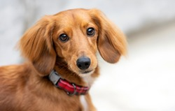 Adorable dressed up with a bow tie festive dachshund portrait, he is a purebred polite gentlemen
