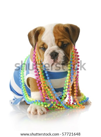 adorable eight week old english bulldog puppy wearing blue and white shirt with colorful jewelery with reflection on white background