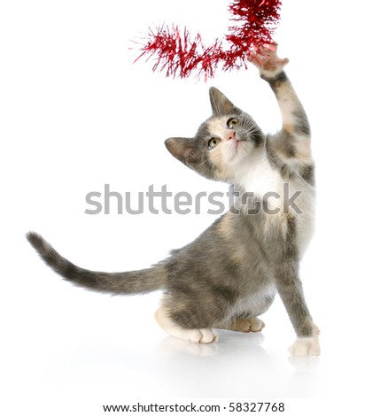 adorable eight week old kitten playing with red christmas garland with reflection on white background