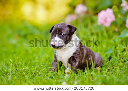 adorable english bull terrier puppy #208175920