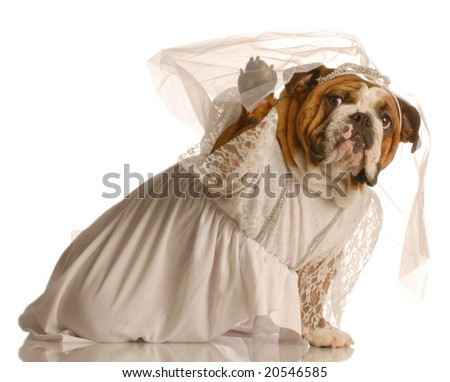 adorable english bulldog dressed up as a bride isolated on white background