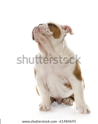 adorable english bulldog puppy with face turned up on white background