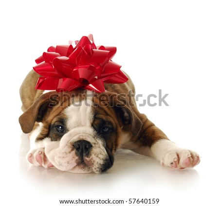 adorable English bulldog puppy with red bow on his head with reflection on white background