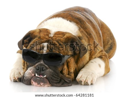 adorable english bulldog wearing dark sunglasses with crooked teeth on white background