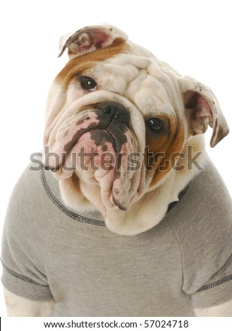 adorable english bulldog wearing grey sweatshirt isolated on white background