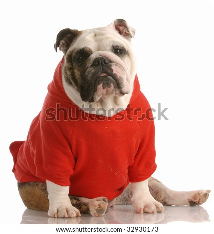 adorable english bulldog wearing red sweater on white background
