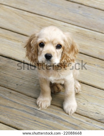 adorable english cocker spaniel puppy sitting on wood planks