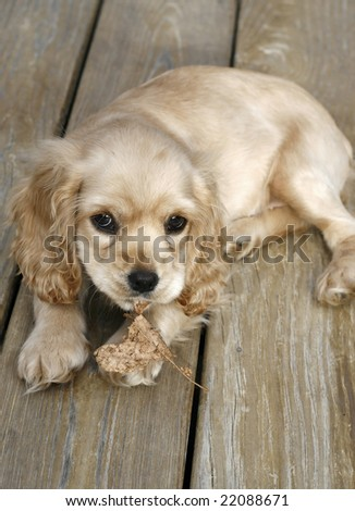 adorable english cocker spaniel with leaf in mouth