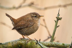 Adorable eurasian wren, troglodytes troglodyte, resting on the tree in spring. Tiny european songbird on branch. Little animal looking innocent while sitting with erect tail. Concentrated bird on tree