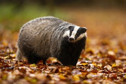 Adorable european badger, meles meles, with black and white stripes on its head standing in the colorful leaves. Adult animal with cute face in the wilderness. Shy badger sniffing around the forest.