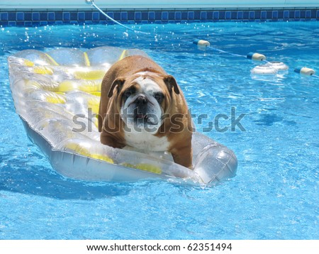 Adorable Family Bull Dog Standing on Float in Leisure in Pet Friendly Swimming Pool