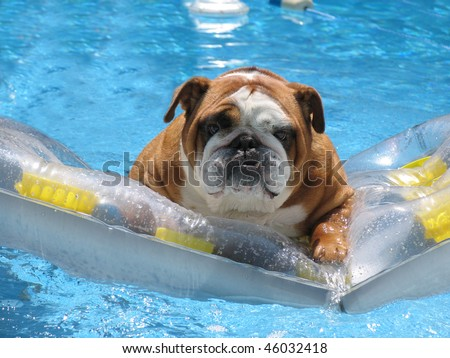 Adorable Family Pet Bull Dog on Vacation in Pet Friendly Hotel Pool - stock photo