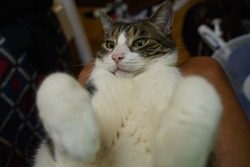 Adorable fat cat with open paws front view closeup