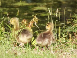 Adorable fluffy Canada goose gosling