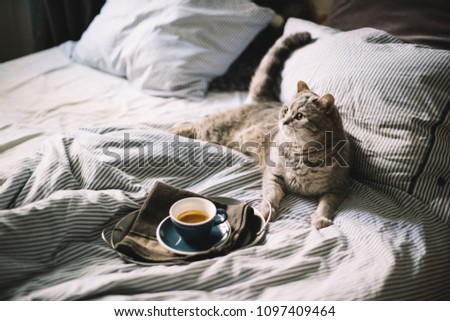 Adorable fluffy little Scottish straight grey tabby cat lying in bed enjoying morning coffee