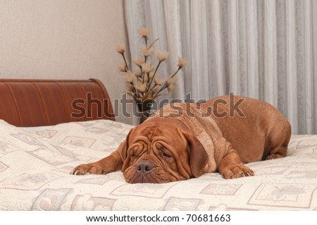Adorable four years old dog of French Mastiff breed is missing her master lying on his bed