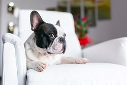 Adorable French bulldog lying down on the armchair