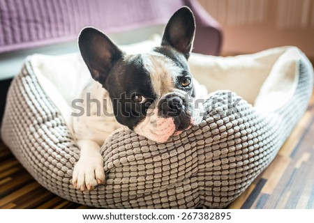 Adorable french bulldog on the lair #267382895