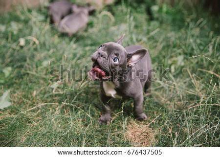 Adorable french bulldog puppy. #676437505