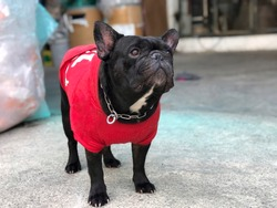Adorable French bulldog sit stay and calm on cement floor,cute dog wearing the red shirt due the cold weather,selective focus.