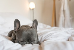 Adorable French bulldog sleeping on a white cozy bed