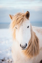 Adorable furry white Icelandic horse in the winter sunset field