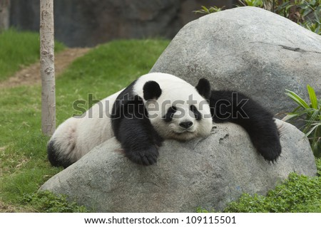 Adorable giant panda bear sleeping #109115501
