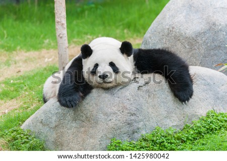 Adorable giant panda bear sleeping #1425980042