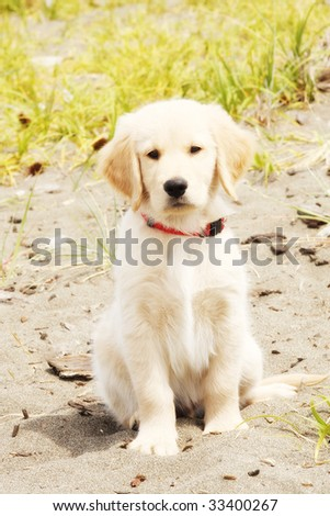 adorable golden lab puppy sits on the beach and smiles