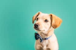 Adorable Golden Lab Puppy with bow tie