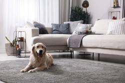 Adorable Golden Retriever dog in living room