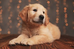 adorable golden retriever dog looking to side and laying down on wooden floor on background lights