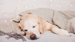 Adorable golden retriever dog sleeping under light gray wool scandinavian  style plaid.  Pets care Christmas concept. Happy New Year eve atmosphere. Holidays lights on carpet.