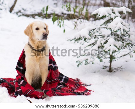 Adorable golden retriever dog wearing warm red Christmas tartan plaid coat sitting on snow outdoor. Winter in park. Horizontal, copy space, close up. #536209888
