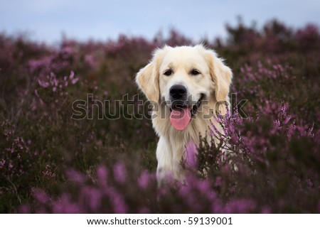 Adorable Golden Retriever in purple moor