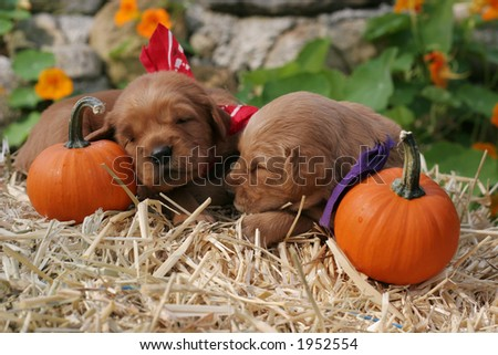 adorable golden retriever puppies in Autumn setting
