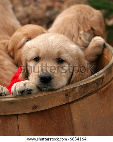 adorable golden retriever puppies in barrel