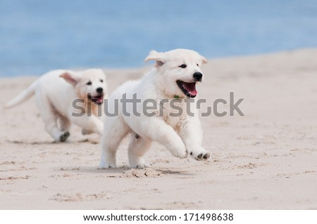 Adorable Golden Retriever Puppies On The Beach